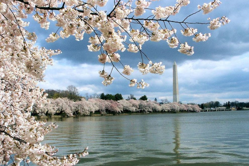 Cherry blossoms accent the Washington Monument