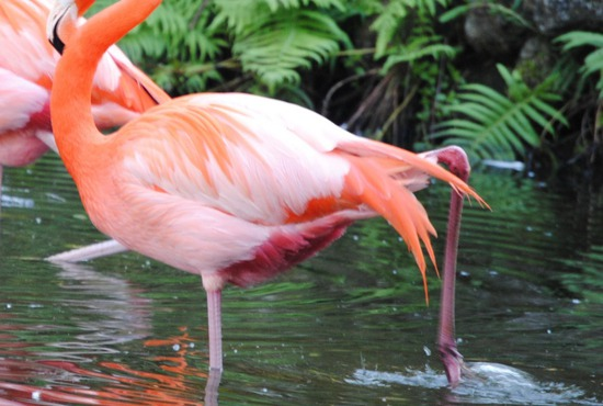 A Pink Caribbean Flamingo Amidst The Lush Vegetation Of His Tropical Environment At The Flamingo