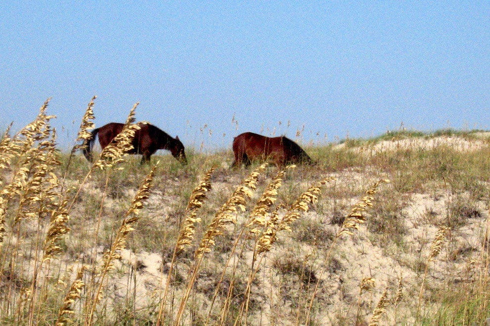 Wild mustangs feast on sea oats in the dunes