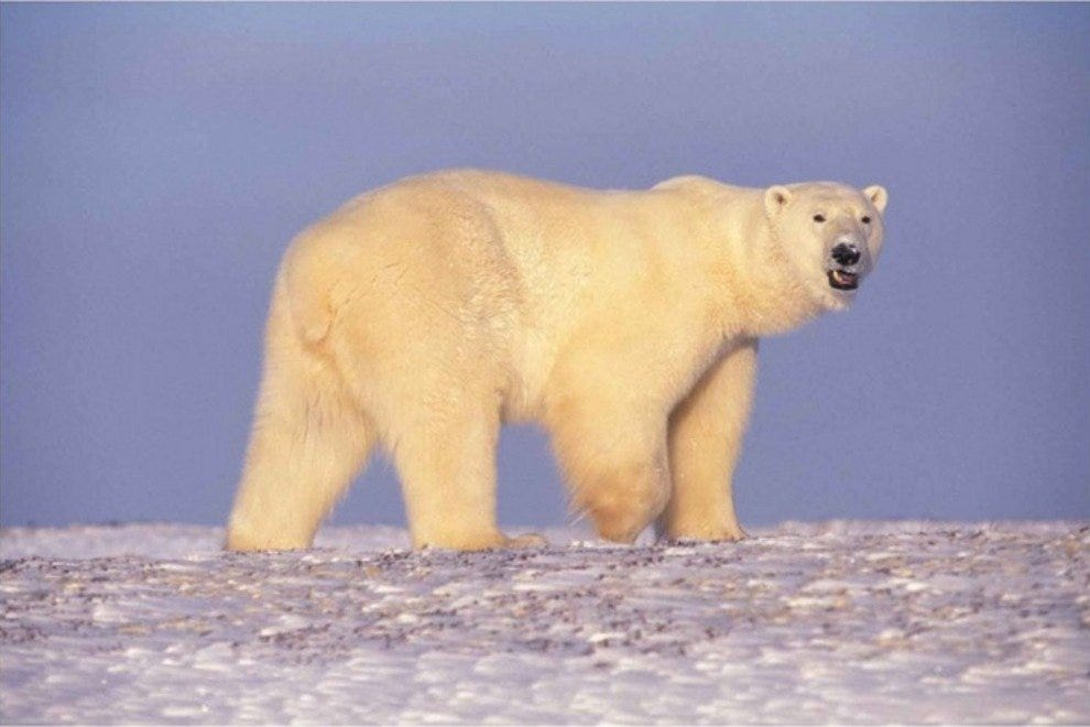 Polar Bears: One of the Arctic's Most Beautiful Animals