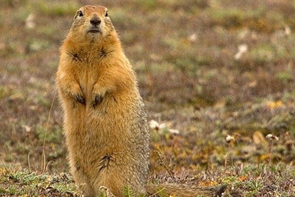 The Arctic Ground Squirrel is One of Nature's Phenomena
