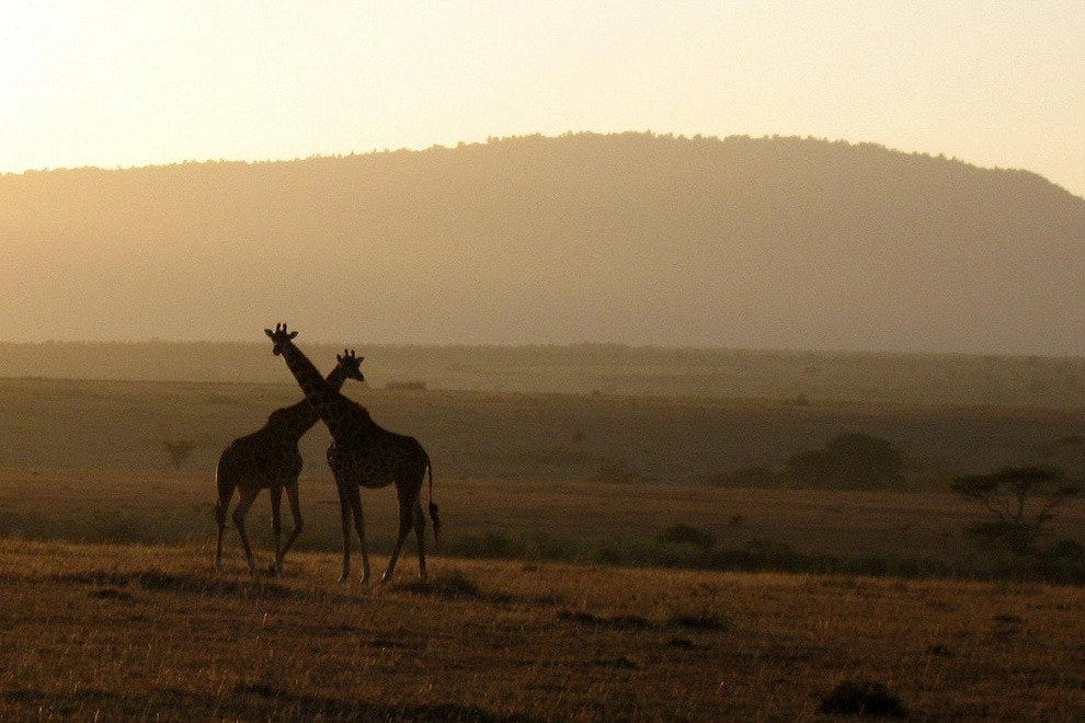 Giraffes in Kenya's grasslands