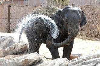 The Denver Zoo Adds New Exhibit:  Toyota Elephant Passage