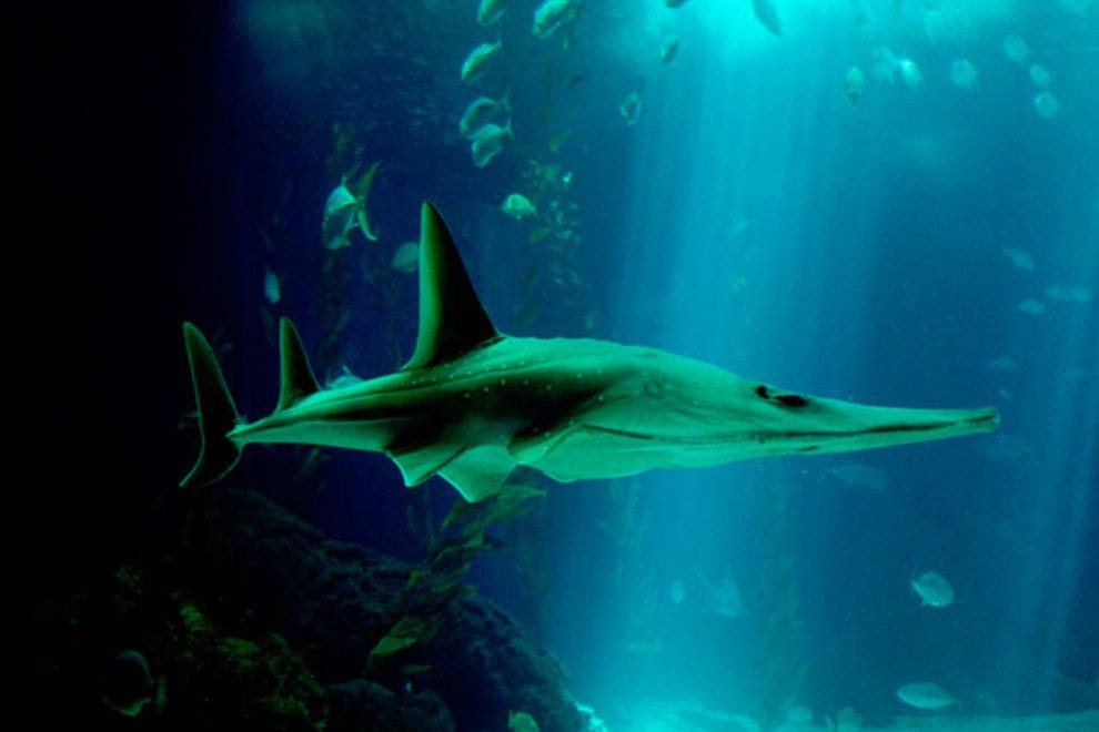 A sleek shark, one of many found in the Oceanario de Lisboa