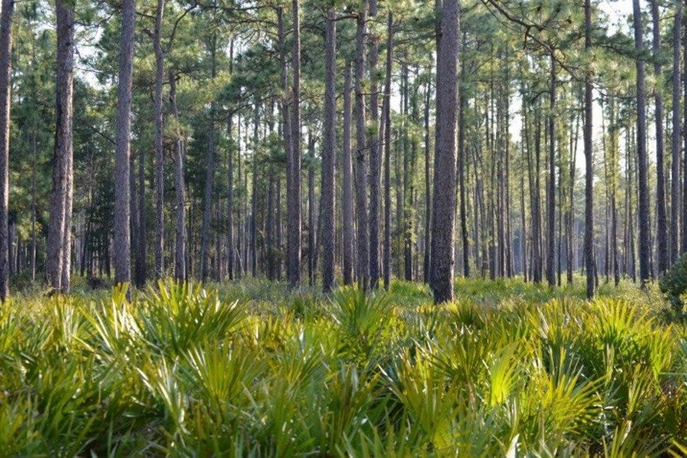 The Okefenokee National Wildlife Refuge is home to numerous plants and trees, including these pines