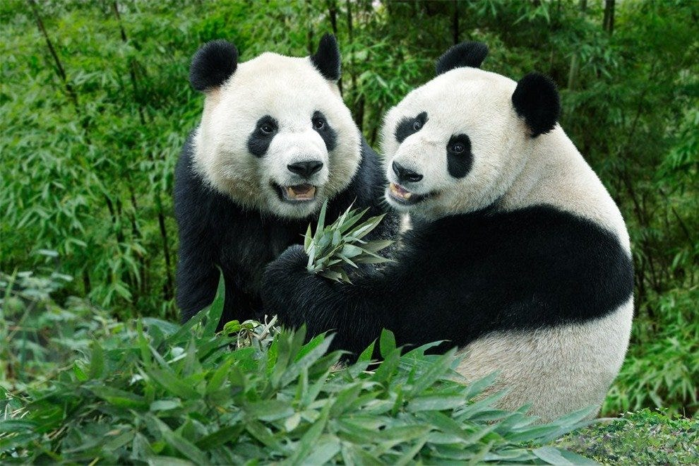 giant pandas arrive at singapore zoo attractions article