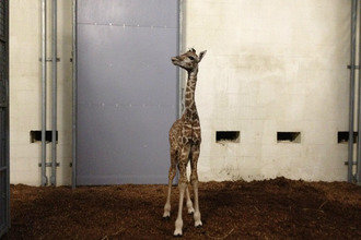 Greenville Zoo Welcomes Baby Giraffe on Debate Night