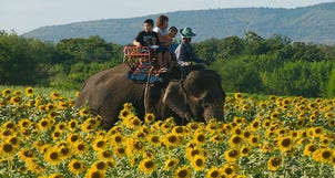 10Best Day Trip: Sunflower Heaven in Saraburi, a Divine Bangkok Escape