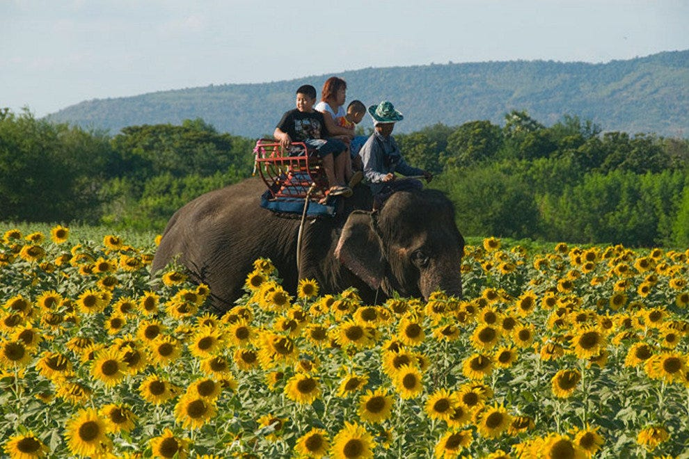 Elephant amidst the sunflowers of Saraburi