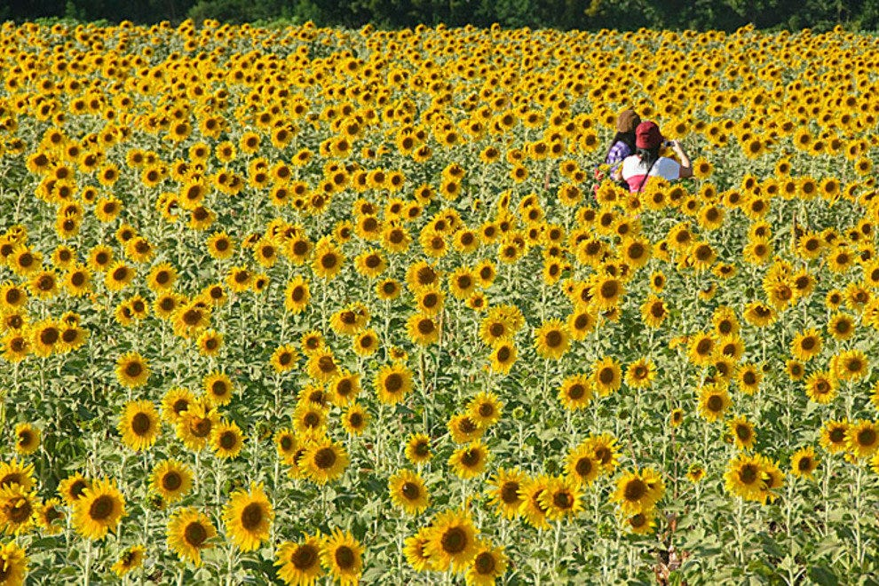 Alone in the sunflower fields