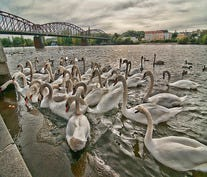 Swans feeding on the Vitava River in Prague