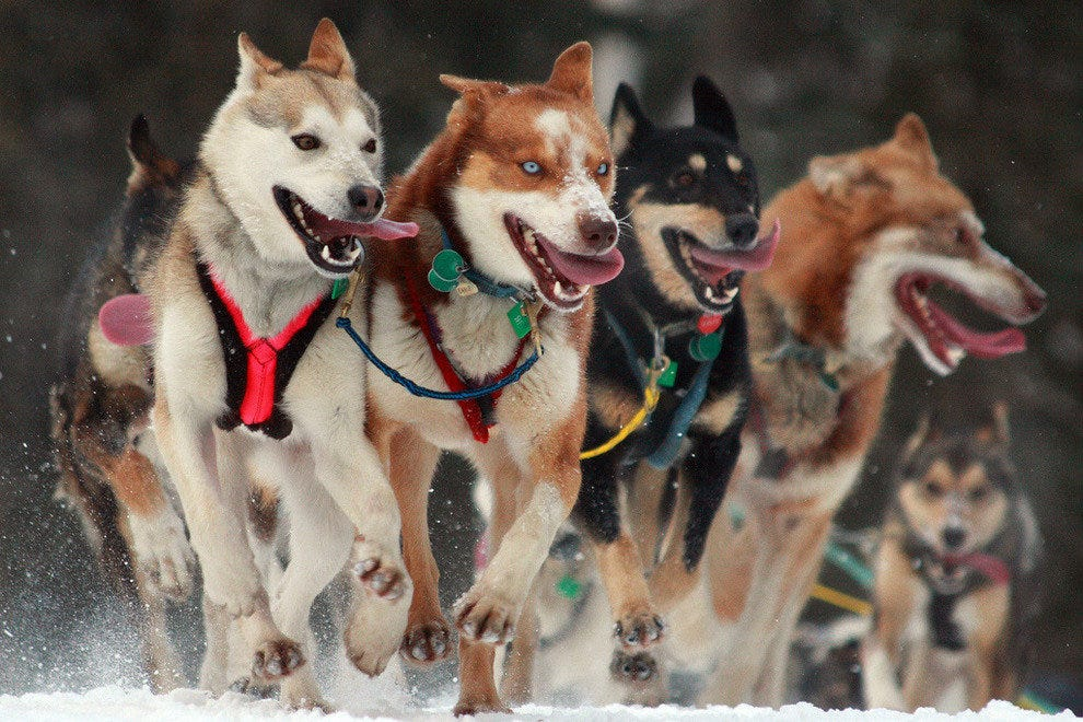 A team of Iditarod sled dogs
