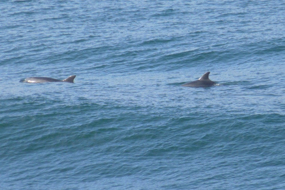 Dolphins swimming in the ocean off of South Carlsbad State Beach