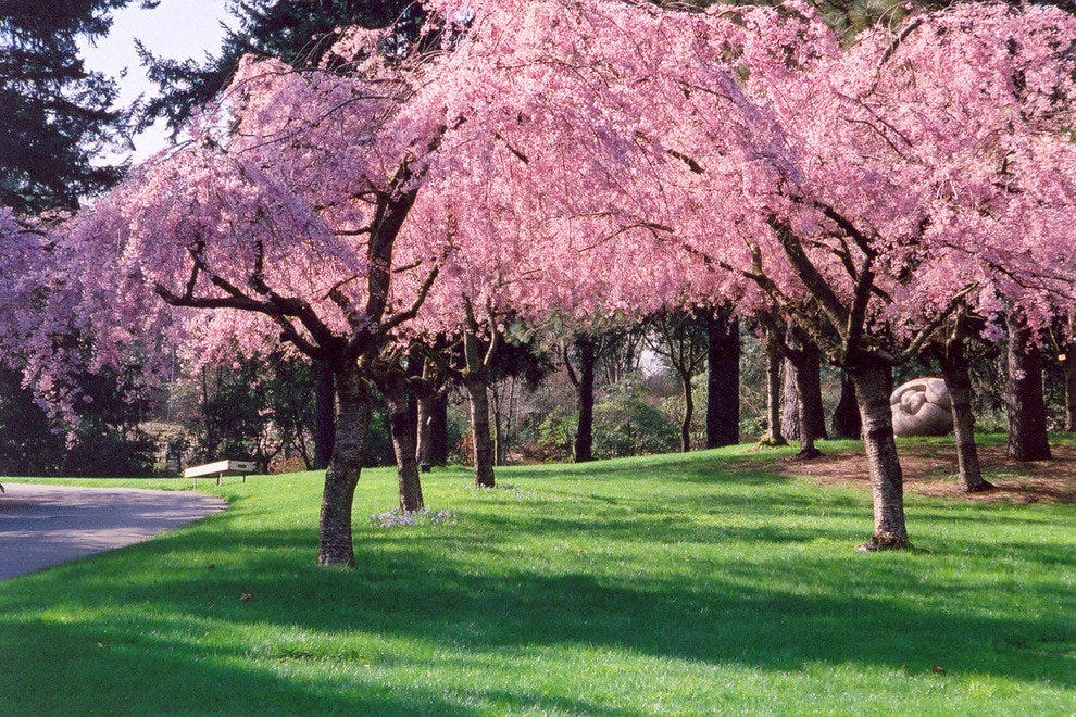 Cherry Blossoms Bloom in Spring