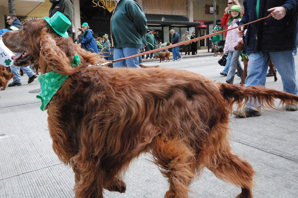 Irish Setter in Seattle