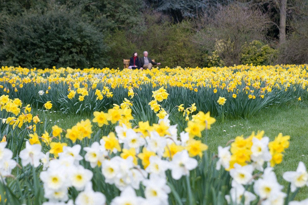 Daffodils in Cotswolds & Wales