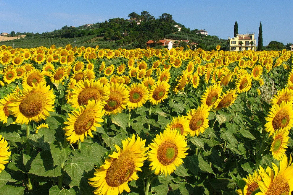 Sunflower field in Italy