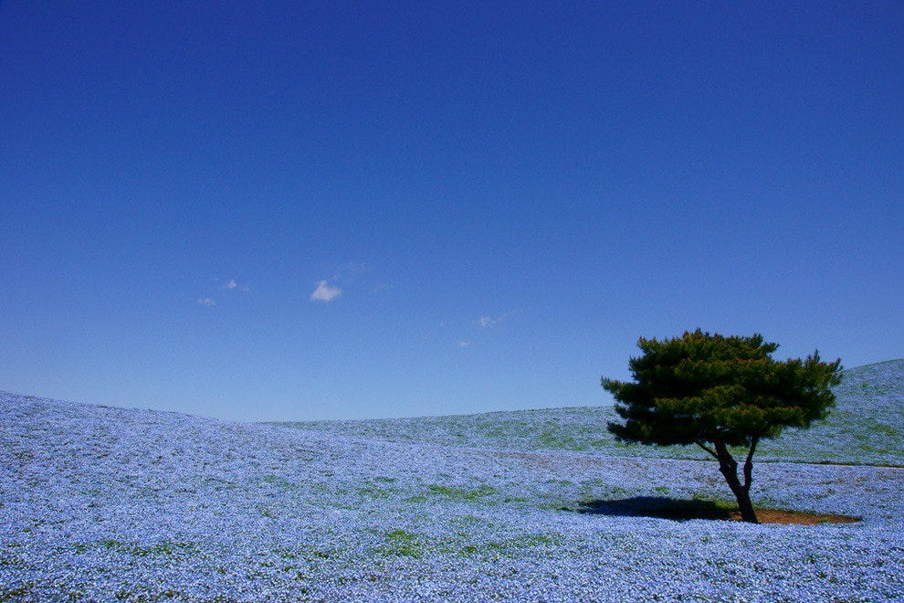 Baby Blue-Eyes at the Hitachi Seaside Park, Japan