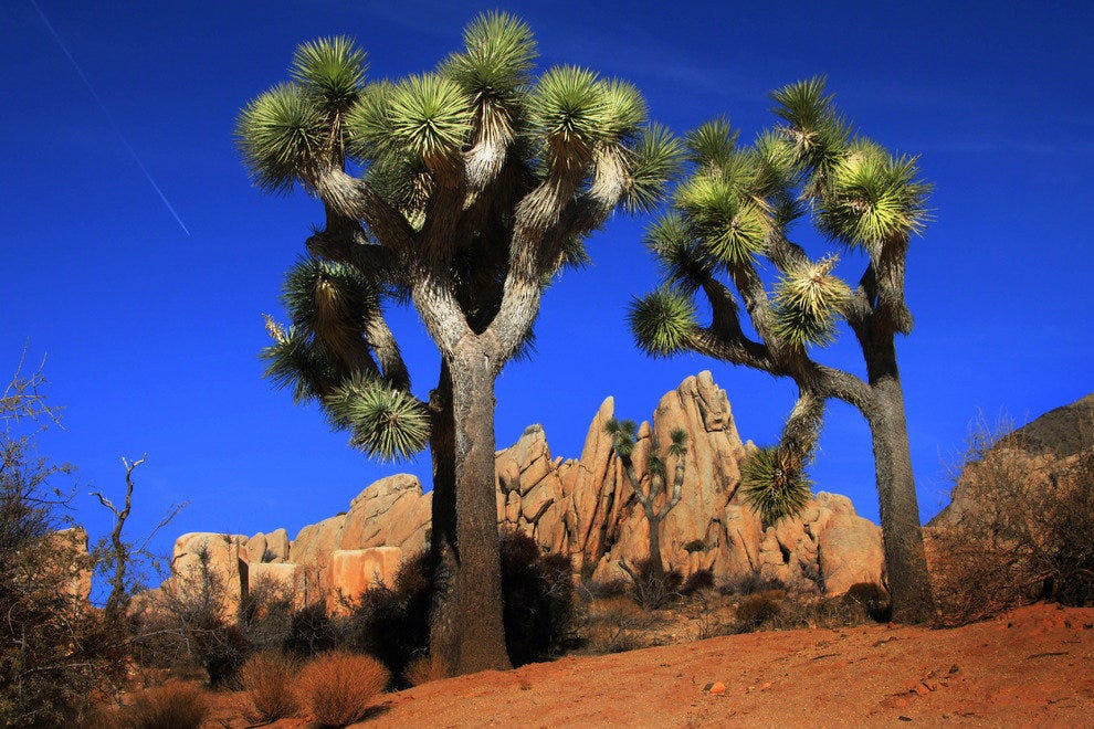 The Rare Joshua Tree Dominates the Park Landscape