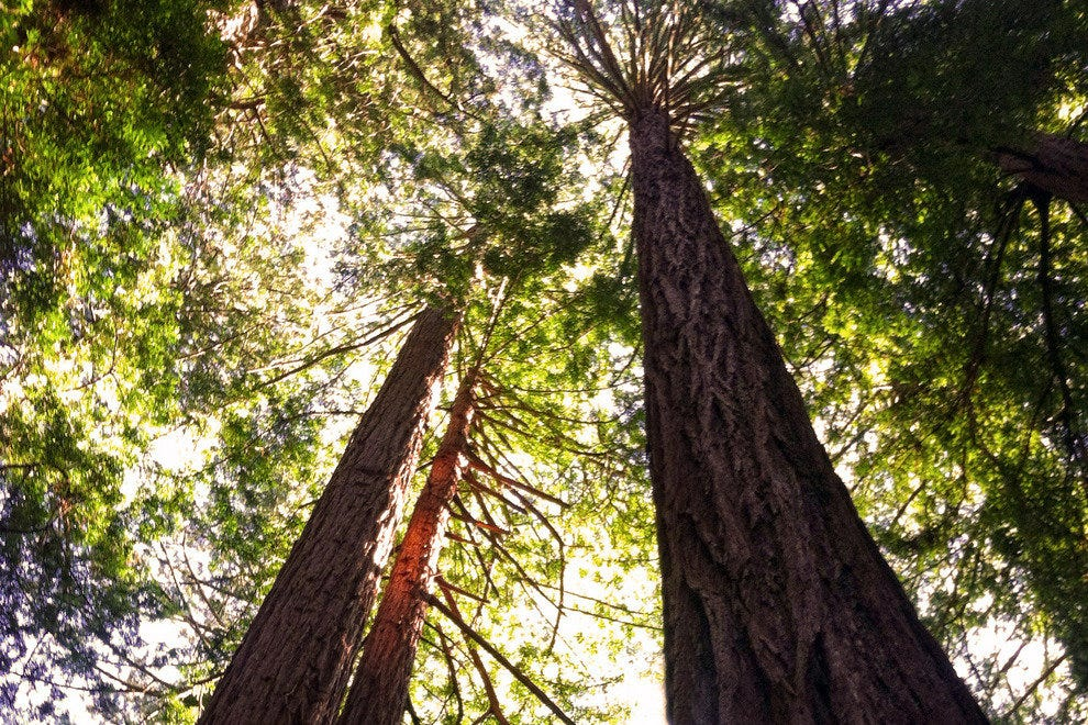 Majestic Trees of Muir Woods Loom Upward to the Skies