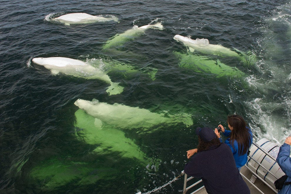 Beluga whale watching off the coast of Manitoba