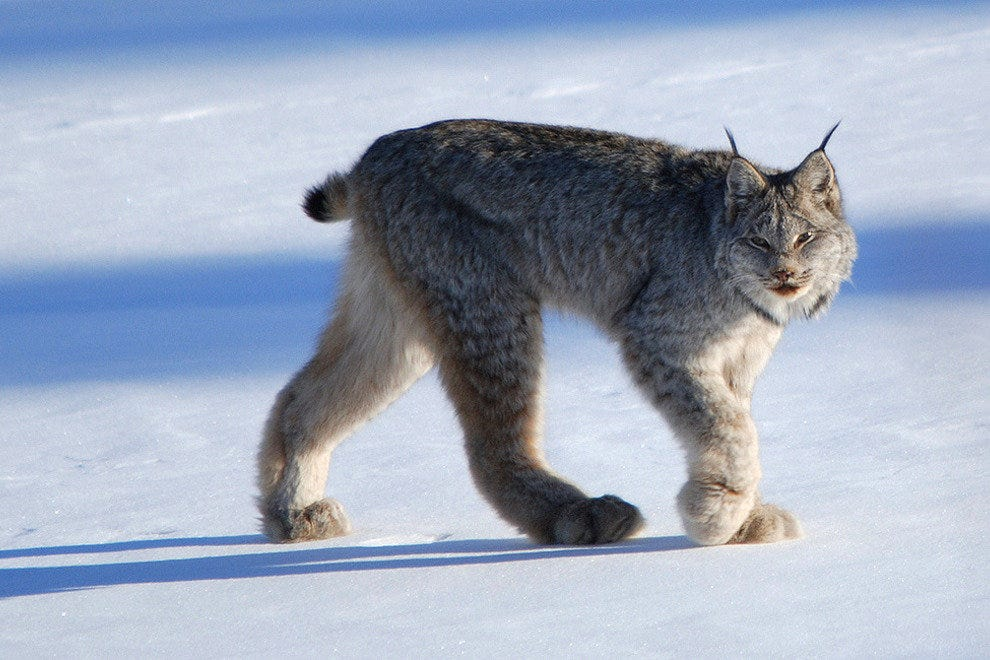A Canada lynx on the prowl