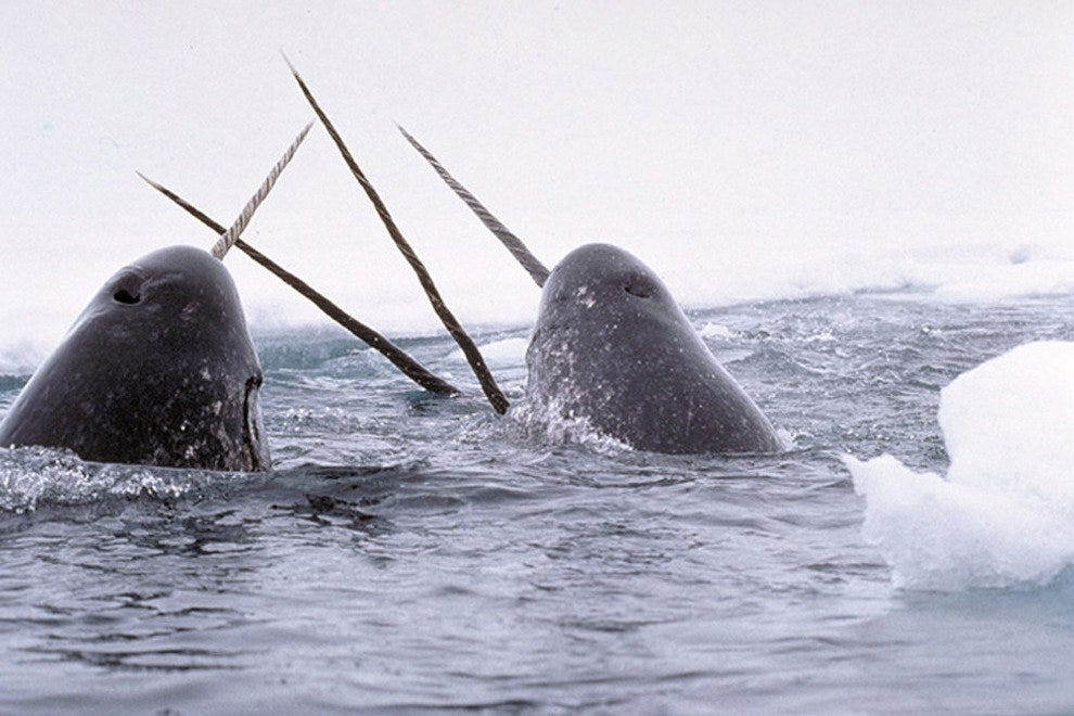 Narwhals breaching the surface