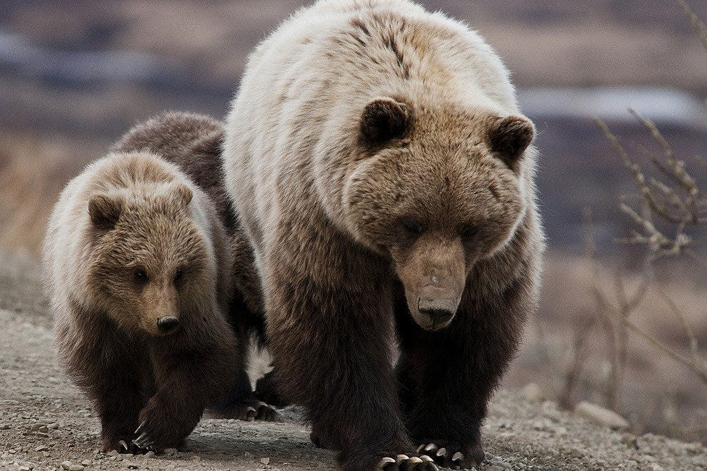 A mother and her cubs in Denali National Park