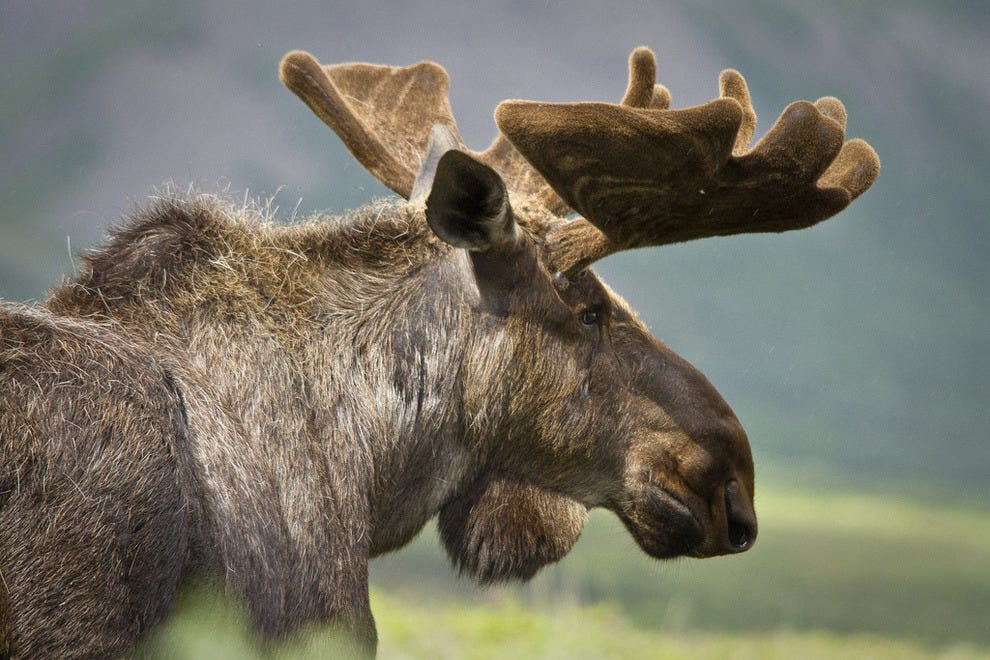Profile of a moose