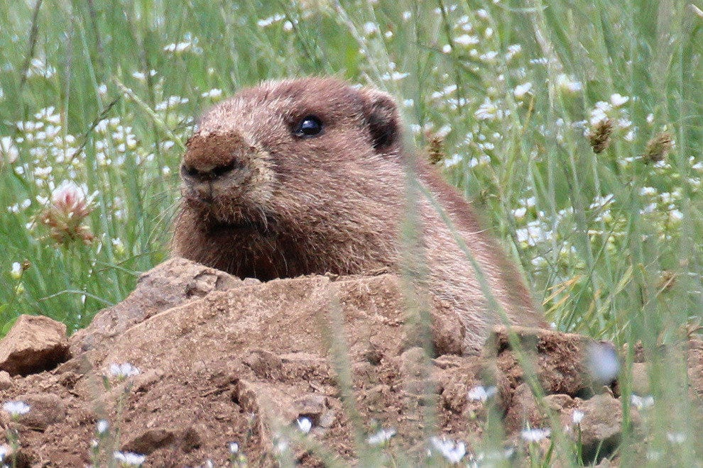 An Olympic marmot peeks his head out