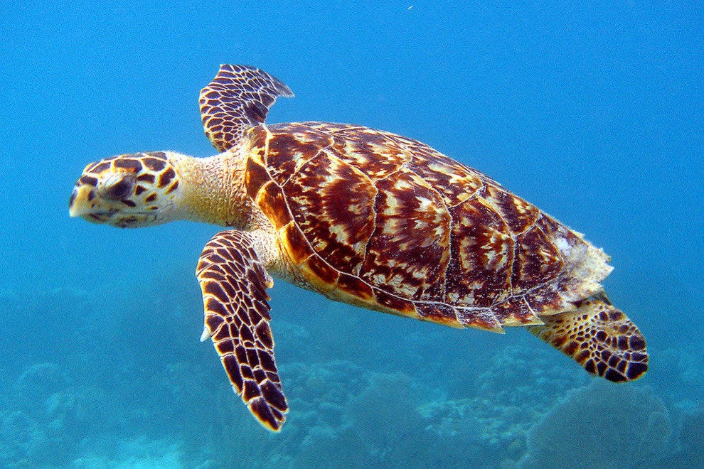 A Hawksbill turtle goes for a swim