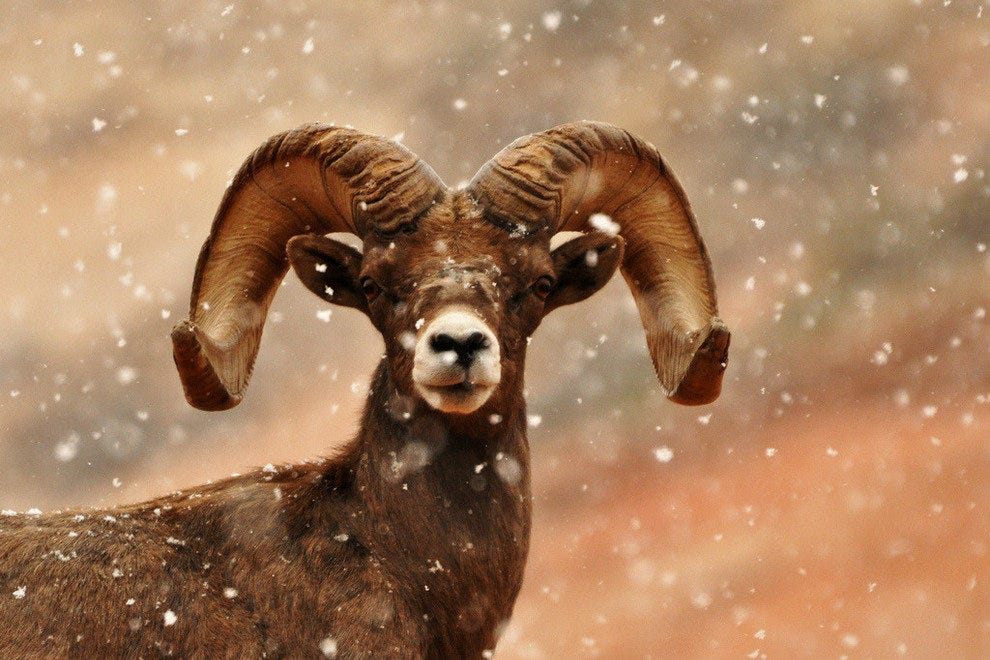 Bighorn sheep posing in the snow