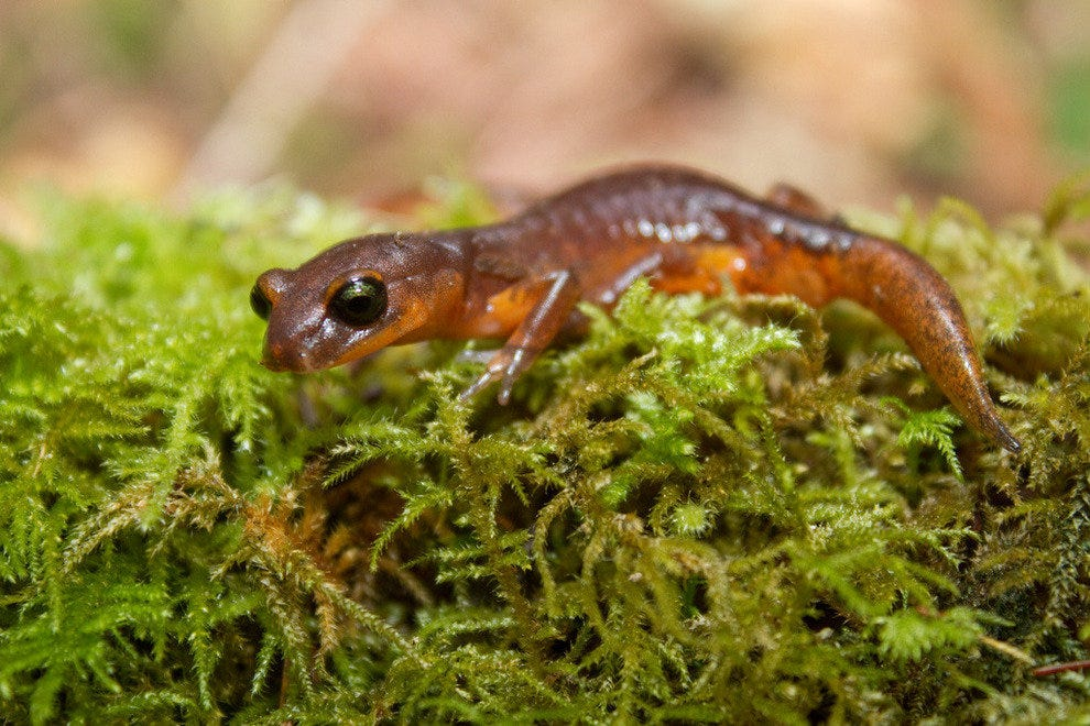 A species of lungless salamander