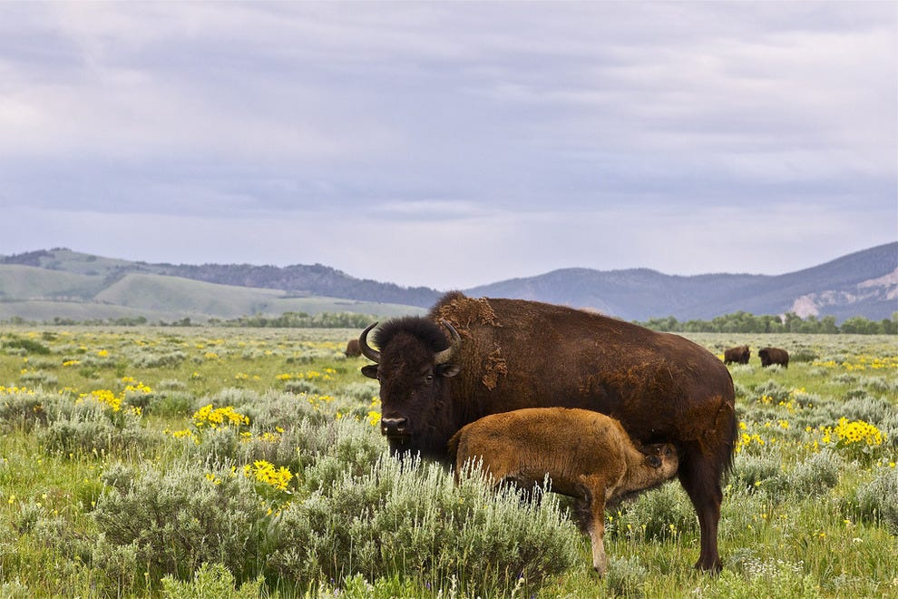 American bison with its calf