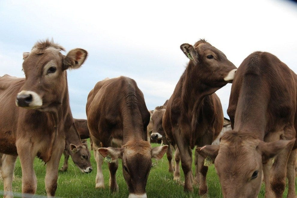 Meet the Brown Swiss Cows