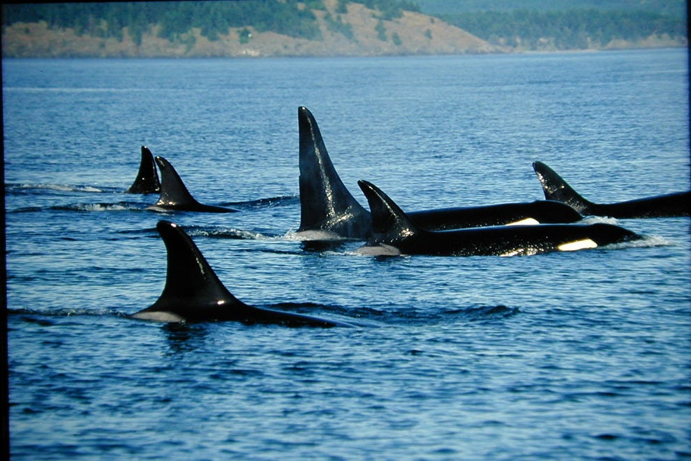 A pod of orcas make their way through British Columbia's waterways.