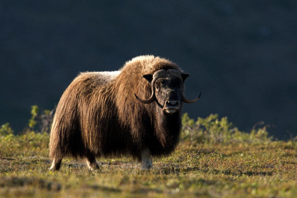Muskox photographed in Bering Land Bridge National Preserve