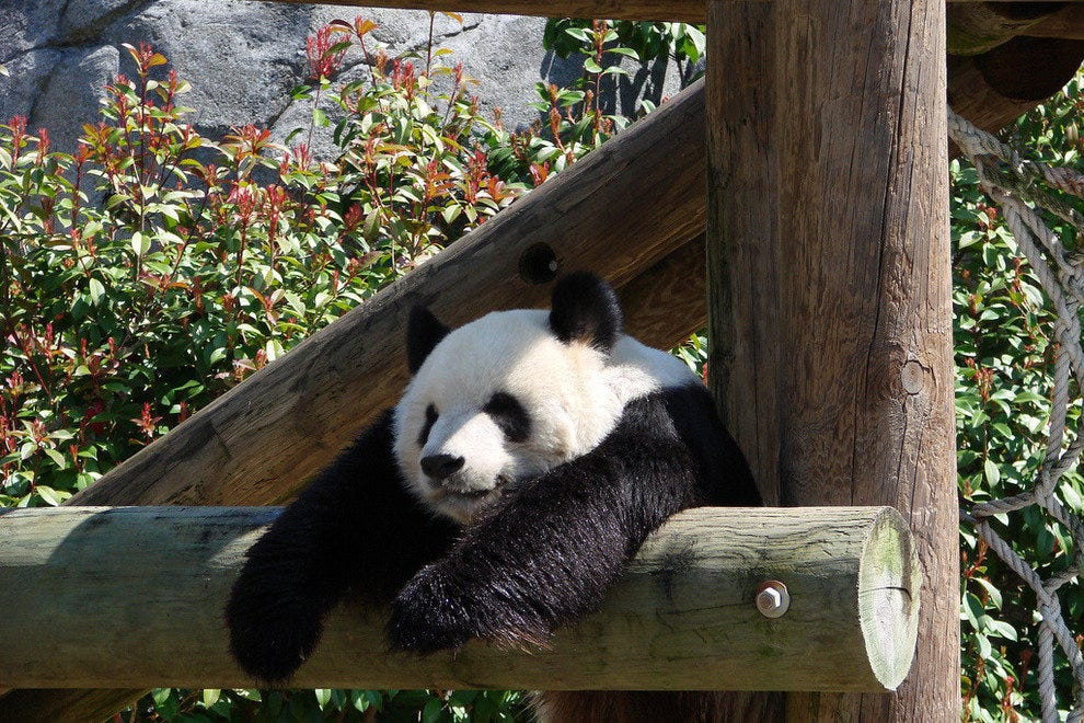 A Memphis Zoo panda hanging out