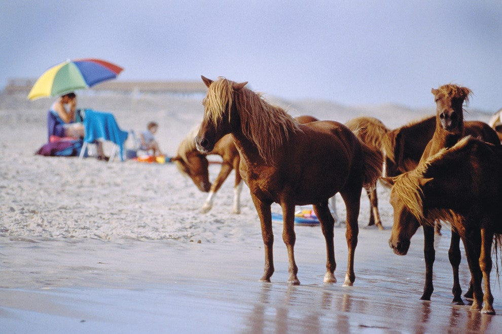 Wild horses that roam the beaches, descendants of horses brought to the island in the 1600s.