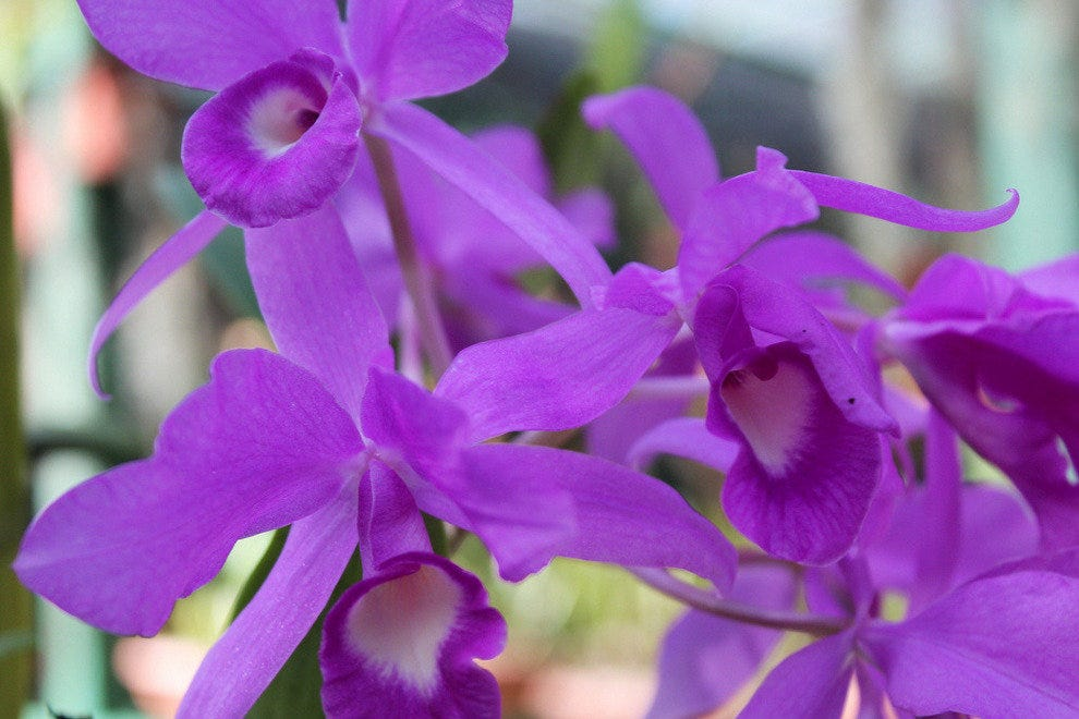 Showy purple orchids at Lankester Gardens