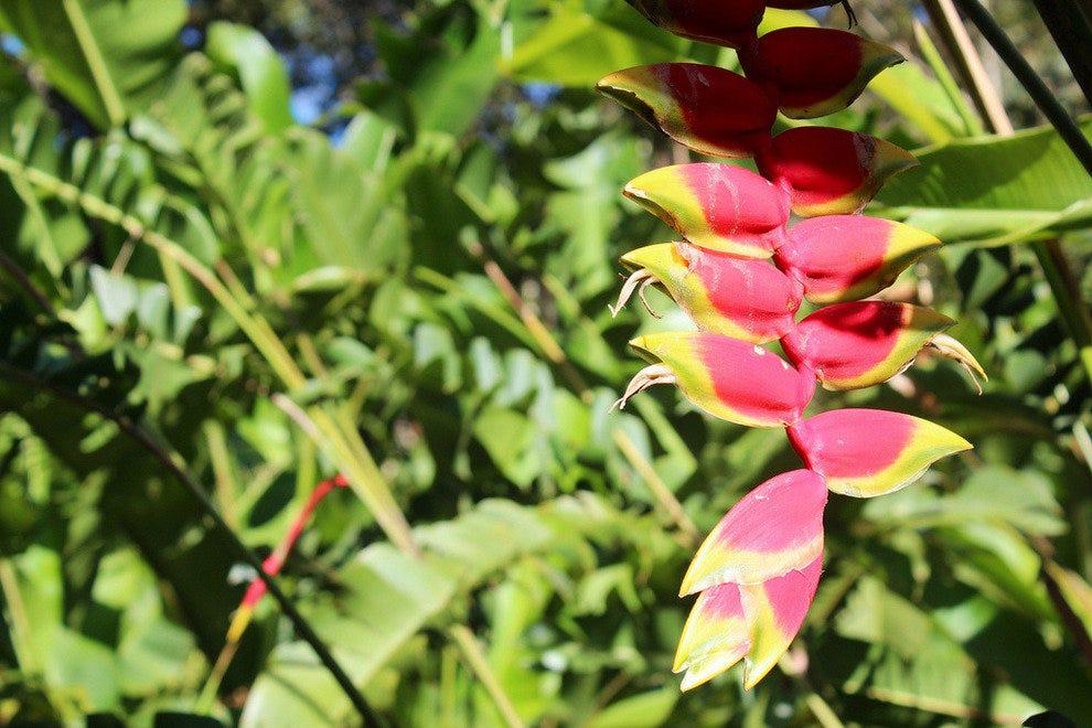 兰克斯特花园的Heliconia花