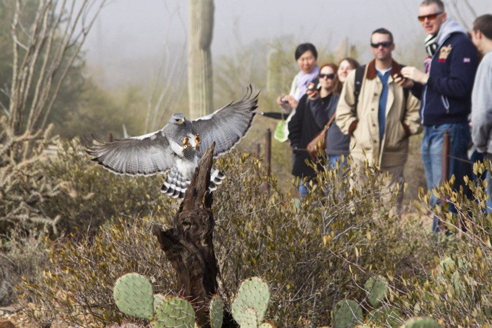 A gray hawk lands in front of visitors at the Arizona-Sonora Desert Museum's raptor free flight presentation.