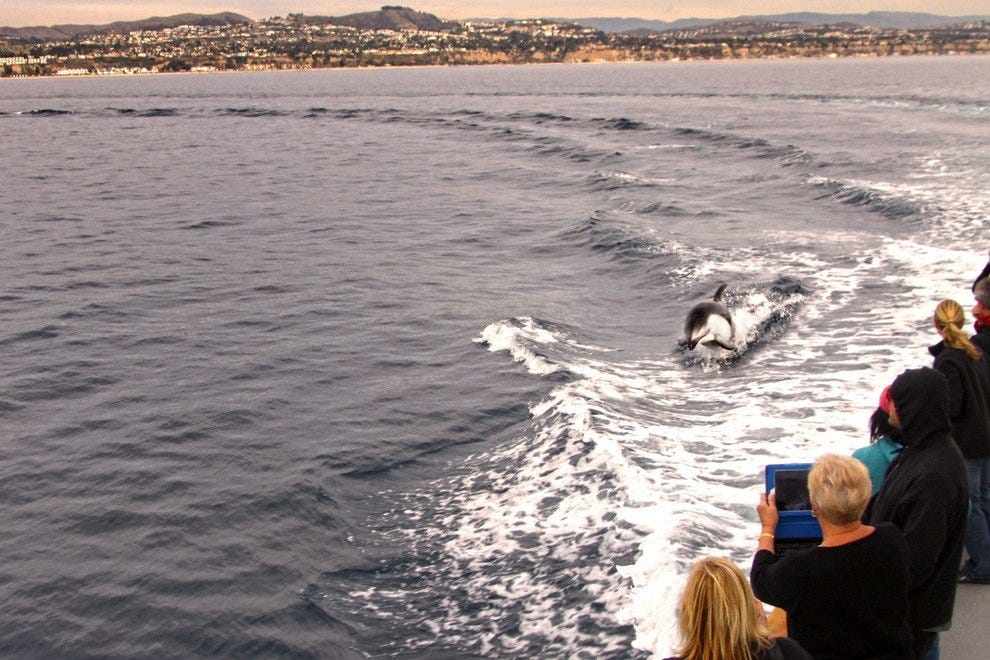 A dolphin surfs the waves off the coast of Dana Point.