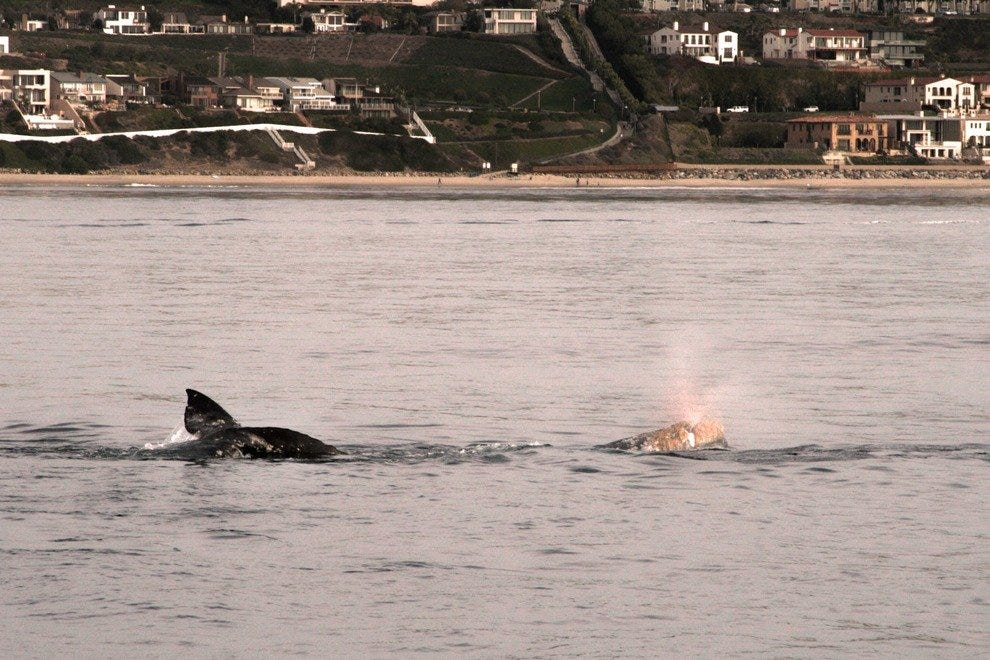 Whales frolic close to the beach at Dana Point, Ca.