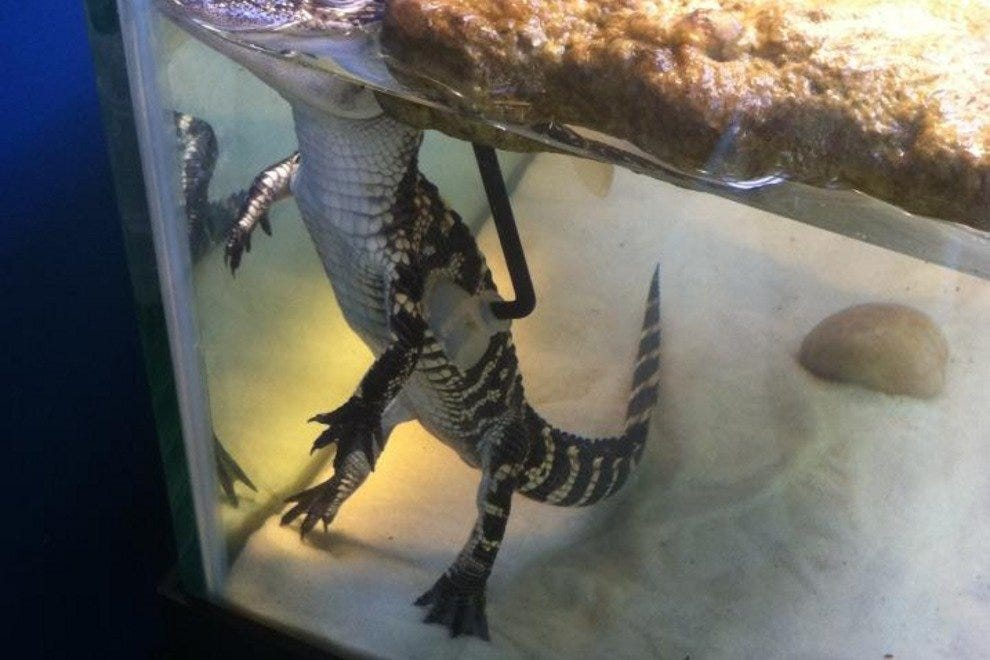 The aquarium features two juvenile American alligators