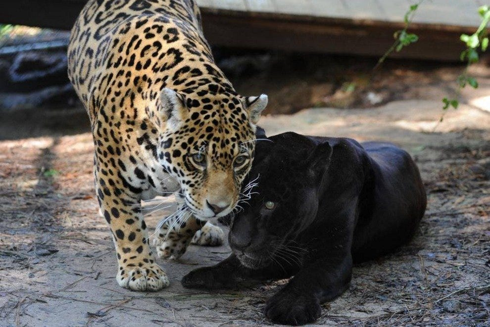 Comfortable companion Cassie, a spotted jaguar, nuzzles Luther, a black jaguar