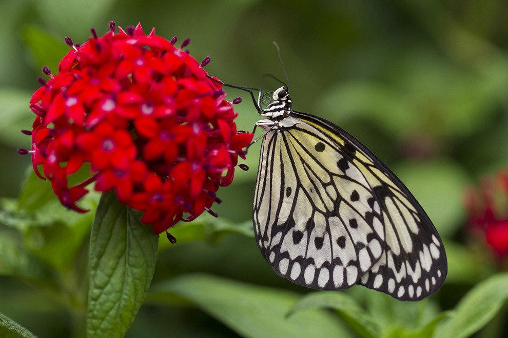 Over 10,000 butterflies will be on display.
