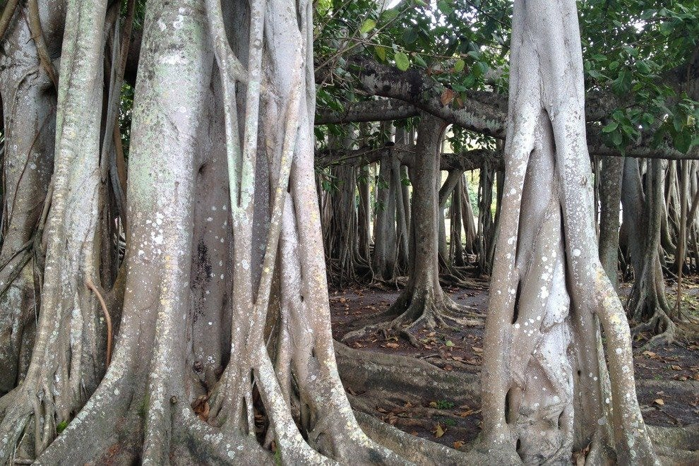 This Edison Estate Banyan Tree is the third largest in the world, covering an entire acre.
