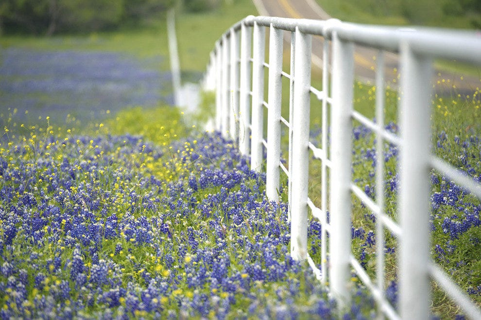 Bluebonnets - Texas Hill Country