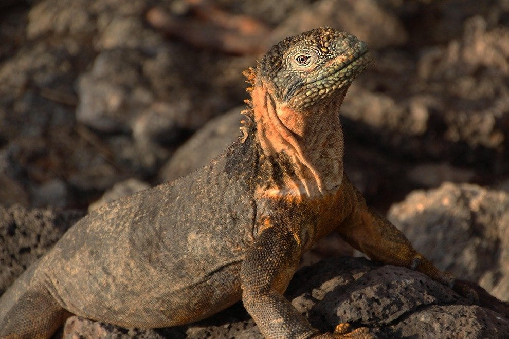 Land iguana, South Plaza Island
